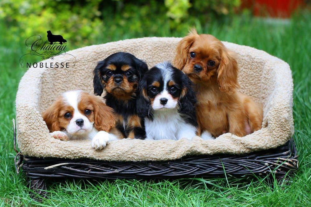 Resultat De Recherche D Images Pour Cavalier King Charles Spaniel Welpen King Charles Cavalier Spaniel Puppy King Charles Dog Cavalier King Charles Dog