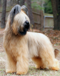 Briard Puppies For Sale Dior Briards Over 34 Years Of Breeding Excellence Kalamazoo Mi Briard Puppies Briard Puppies For Sale