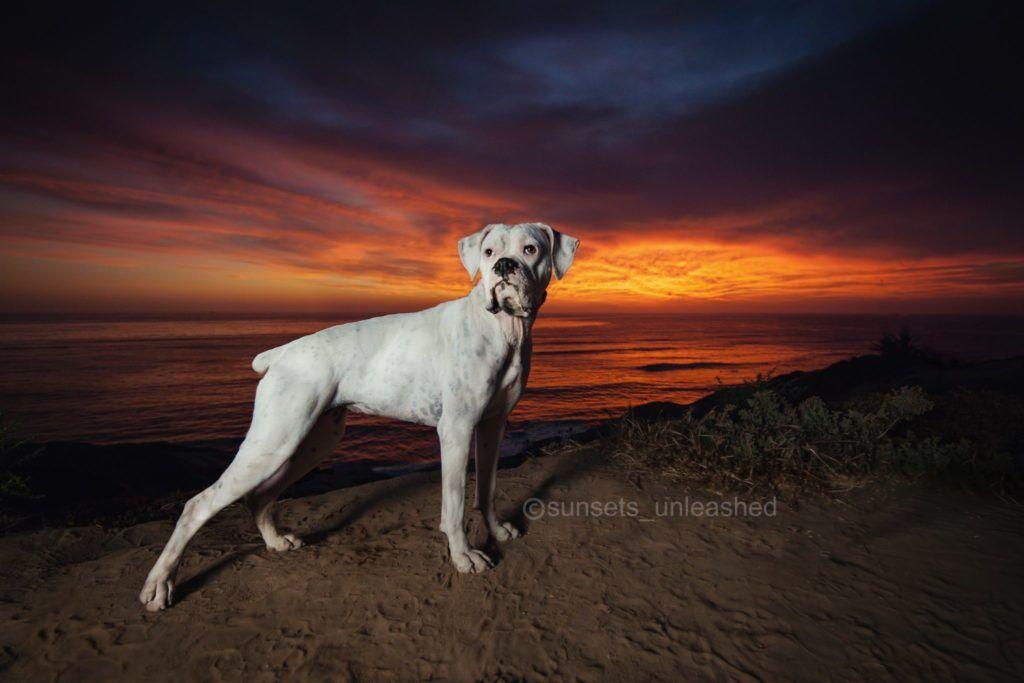 Boxer dog for Adoption in Oceanside, CA. ADN672589 on