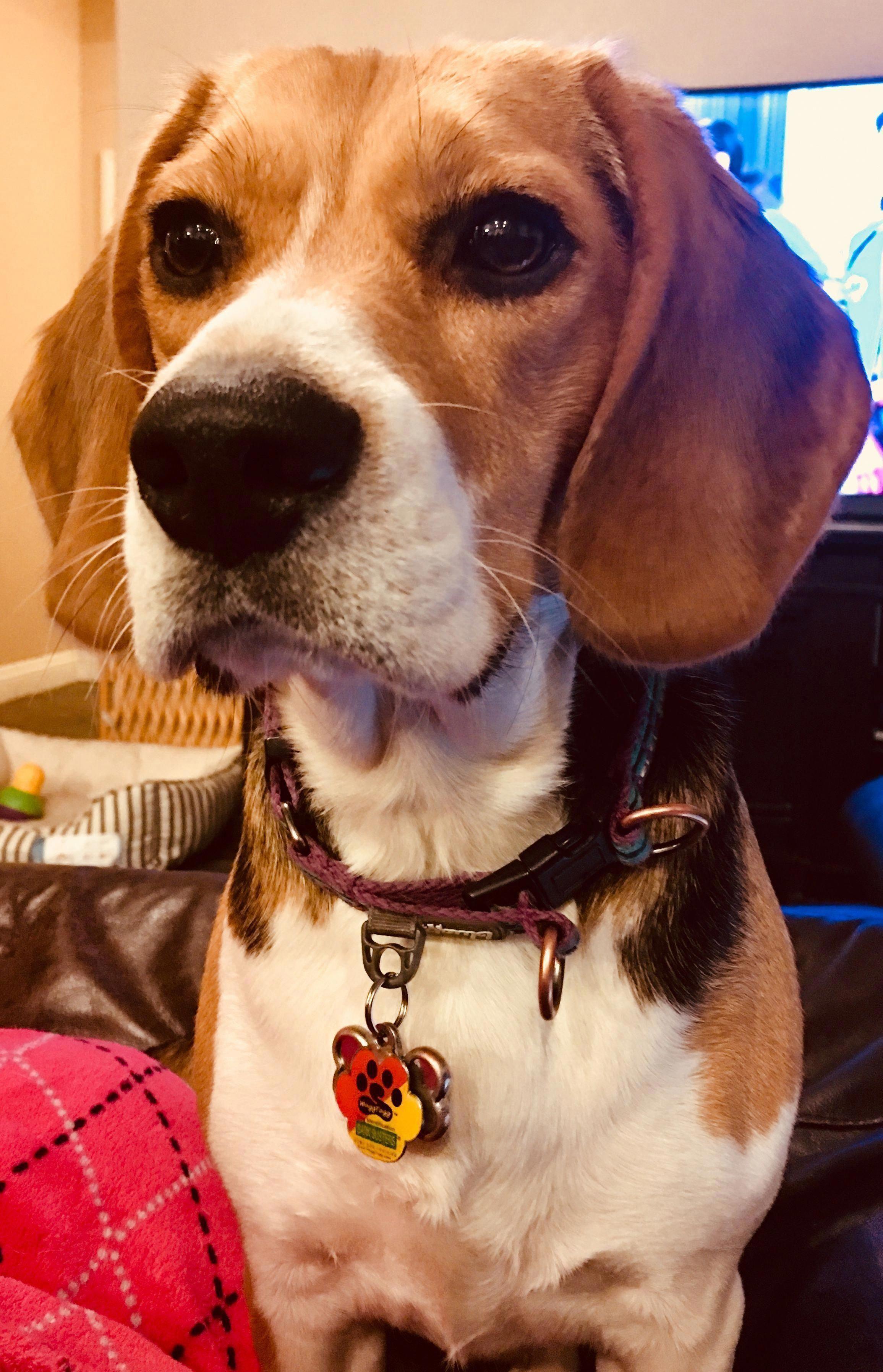 The Curious Beagle Puppy Temperament Beagleoftheday Beaglelab