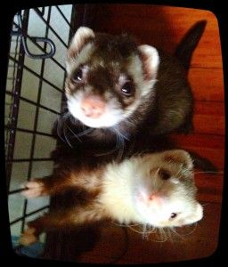 Simple Easy Trick To Clean A Ferret Cage Ferret Cage Ferret