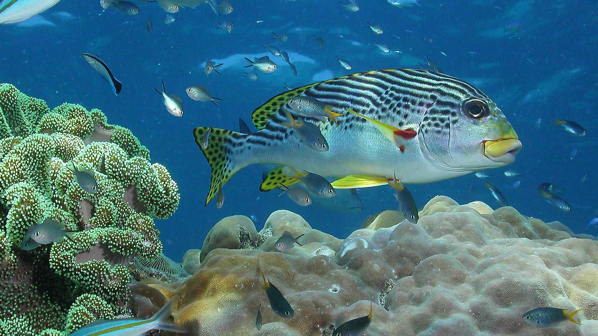 Sweet Lips Great Barrier Reef (With images) Fish pet