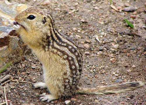 13 Lined Ground Squirrel Squirrels Saw A Pair At A Pet Shop Was Tempted To Get But I Already Have Enough Pets Lol Ground Squirrel Squirrel Animals