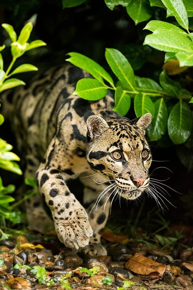 If Clouded Leopard Walks With You Whether For A Day Or For Life