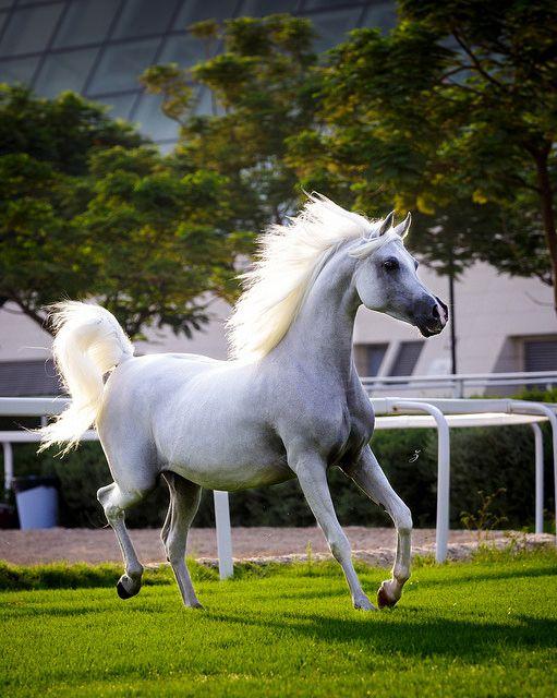 Arabian mare at sunrise, Qatar | Flickr - Photo Sharing!