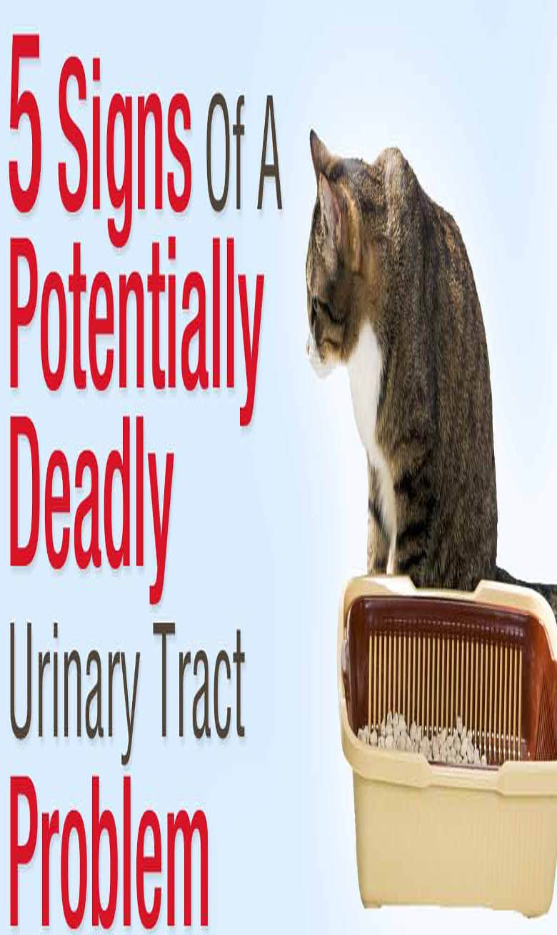 FLUTD (Feline Lower Urinary Tract Disease) and Your Cat