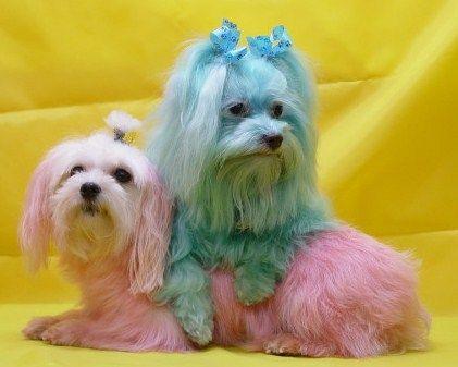 Maltese Dyed Omg Ha Maltese Dogs Maltese Dogs Care Dog Dye