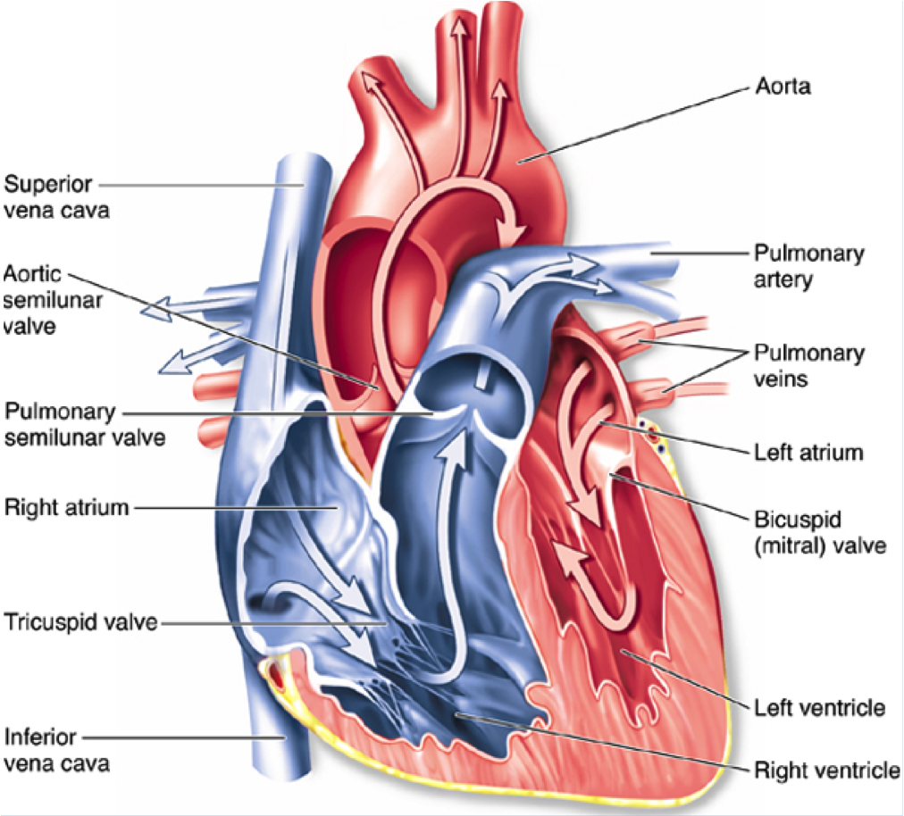 Bbc gcse bitesize circulatory system also known as the bbc gcse bitesize circulatory system also known as the cardiovascular system your heart ccuart Image collections