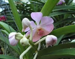 orchidee vanda online kaufen