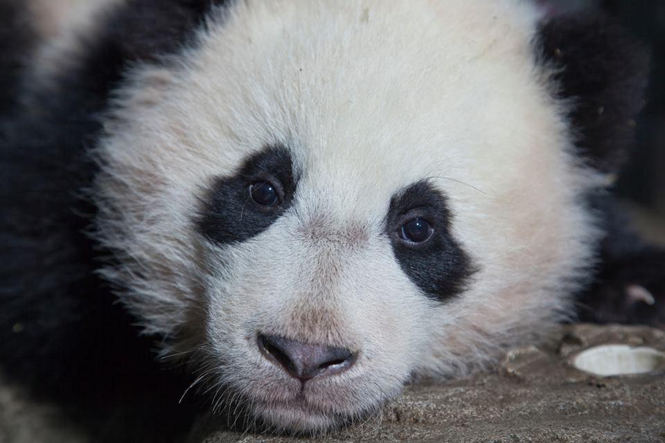 Pin by Margo Mills Wayman Fallis on pandas | Panda, Panda bear, Bear