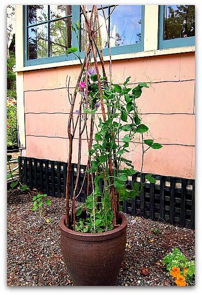 How To Make A Trellis For Your Potted Plants Tall Clover 640 x 480