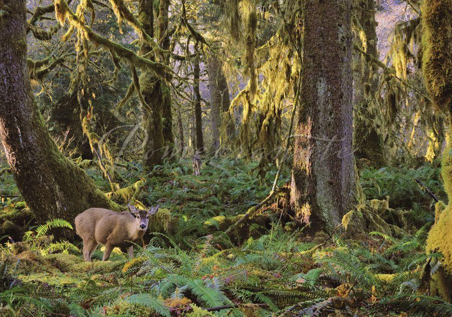 Deer in Forest Habitat Notecard | Animals of Pomegranate ...