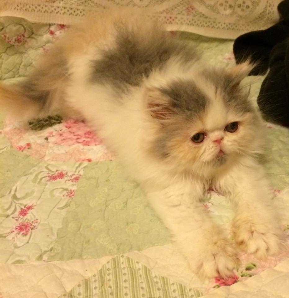 OpalReys Dilute Calico Persian Kitten