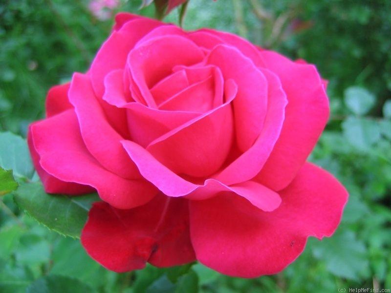 39 dame de coeur 39 rose click to enlarge alice in. Black Bedroom Furniture Sets. Home Design Ideas
