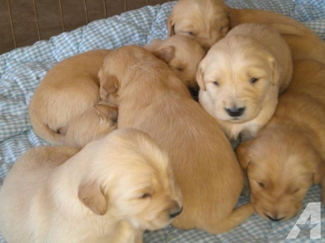 Purebred Golden Retriever Puppies Purebred Golden Retriever