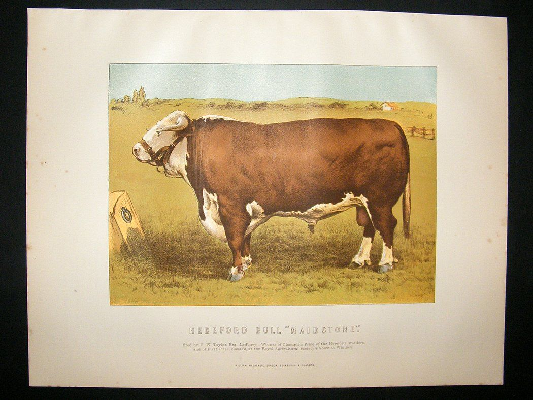 1875 Antique Cattle Print Hereford Ranch Life Moose Art