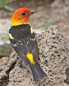 Western Tanager - Wikipedia, the free encyclopedia