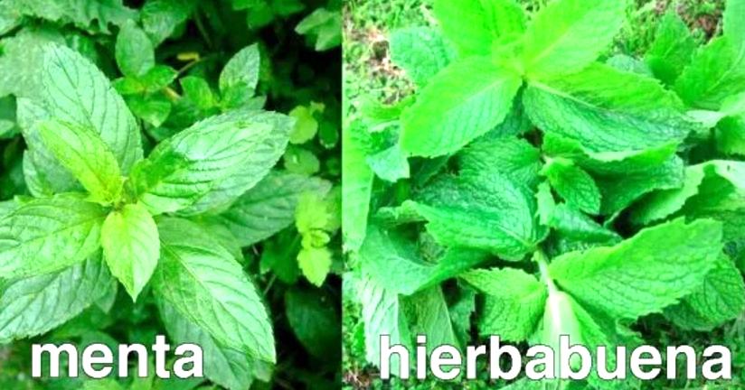 hierbas resistentes a plagas para la diabetes