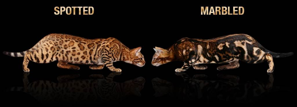 A Visual Guide To Bengal Cat Colors Patterns Bengal Cat