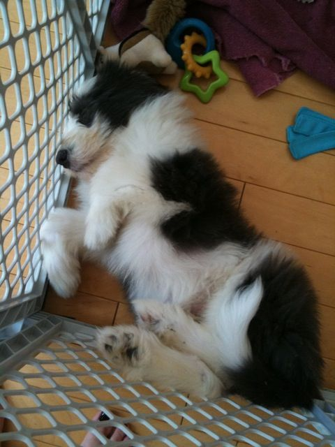 Bearded Collie Puppy Sweet Dreams Puppy Pictures Puppies