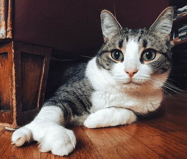 Meet The Adorable Cat With A Lobster Paw Who Thanks To His Amazing Parents Is Thriving Despite Being Born With Multiple Health Issues Cute Cats Cats Cat Rescue