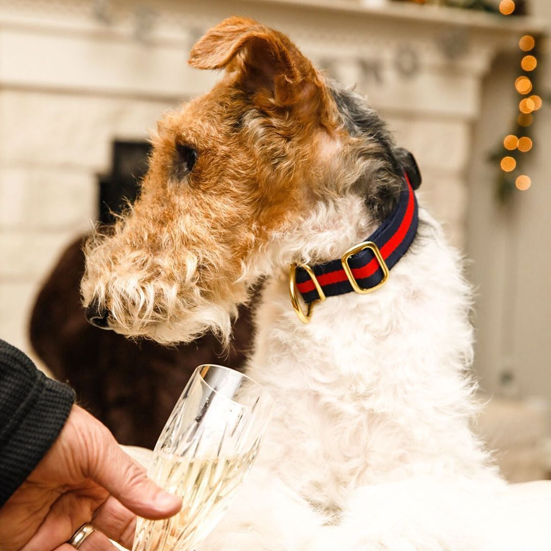 Lucky Dog Gear On Instagram Happy New Year Collar By Luckyplusdog Dogsaroundaustin Austin Wirefoxterrier In 2020 Dog Gear Lucky Dog Wire Fox Terrier