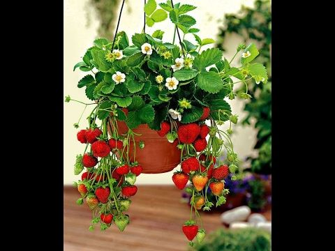 7 Dicas Imperdiveis Para Cultivar Morangos Em Vasos Youtube Cultivo De Plantas Plantas Jardin Como Plantar Frutillas