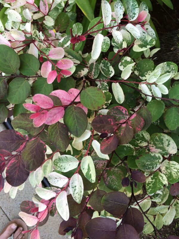 Free Plant Identification Shrubs, Usda zones, Home and