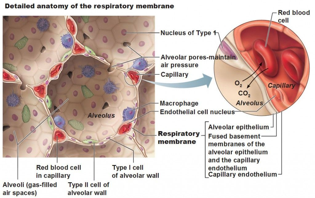 detailed anatomy of the respiratory membrane, type 1, type 2 cells ...