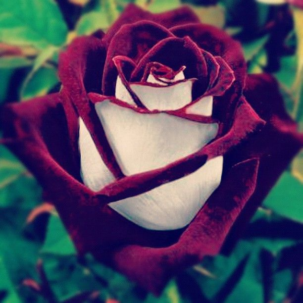 The most beautiful flower flower rose instagram instagood a prettiest flower in the world the most beautiful flower flower rose instagram instagood mightylinksfo