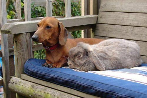 Dog Rabbit Dachshund Dachshund Love Animals Beautiful