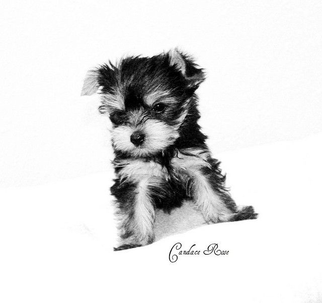 Black And White Yorkie Yorkie Poo Puppies Yorkie Puppy Cute