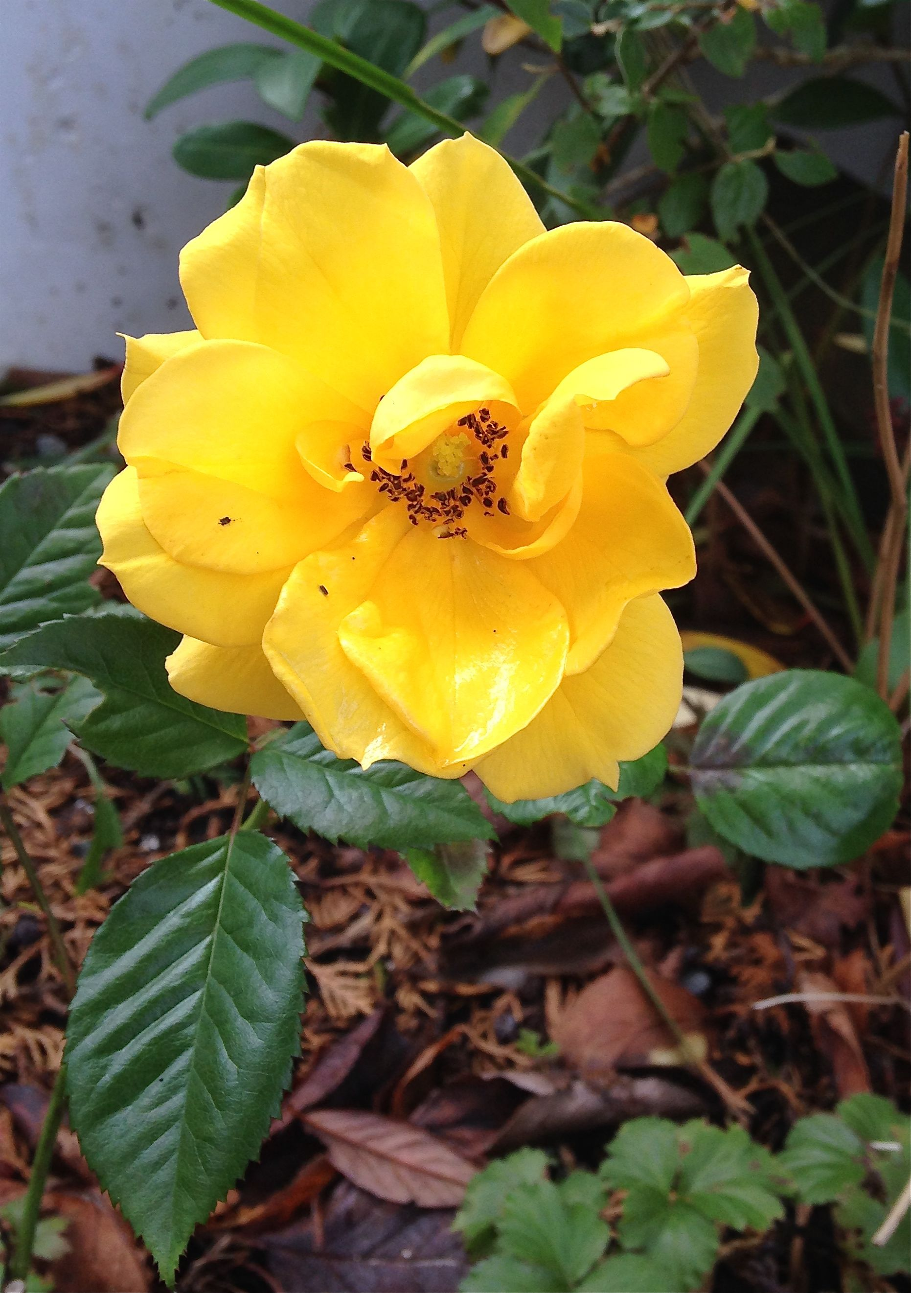2232 I Discovered A Small Yellow Rose On My Visit In The Garden