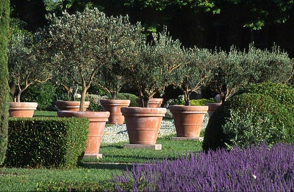 Olive Trees In A Terracotta Pot Available Blerick Tree Farm Www