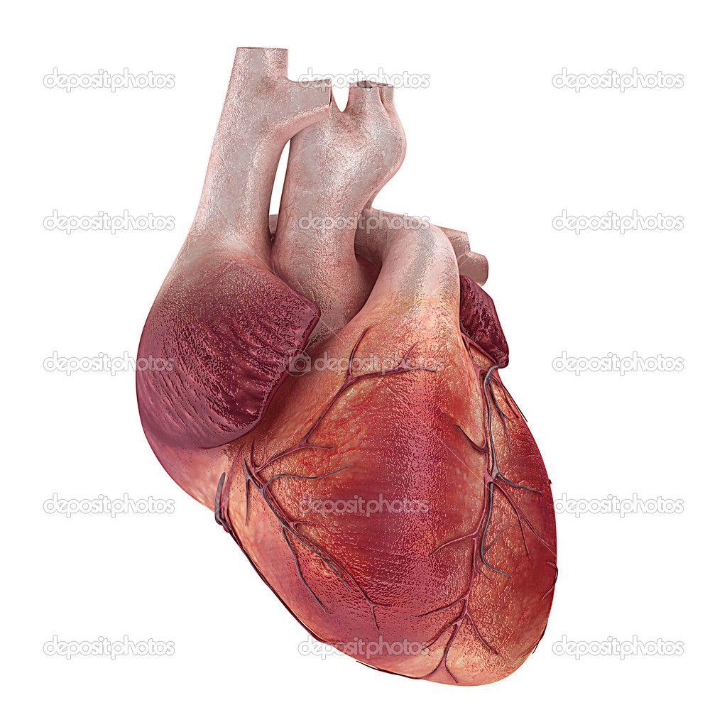 depositphotos_12438769-Human-heart.jpg (1024×1024) | Hearts | Pinterest