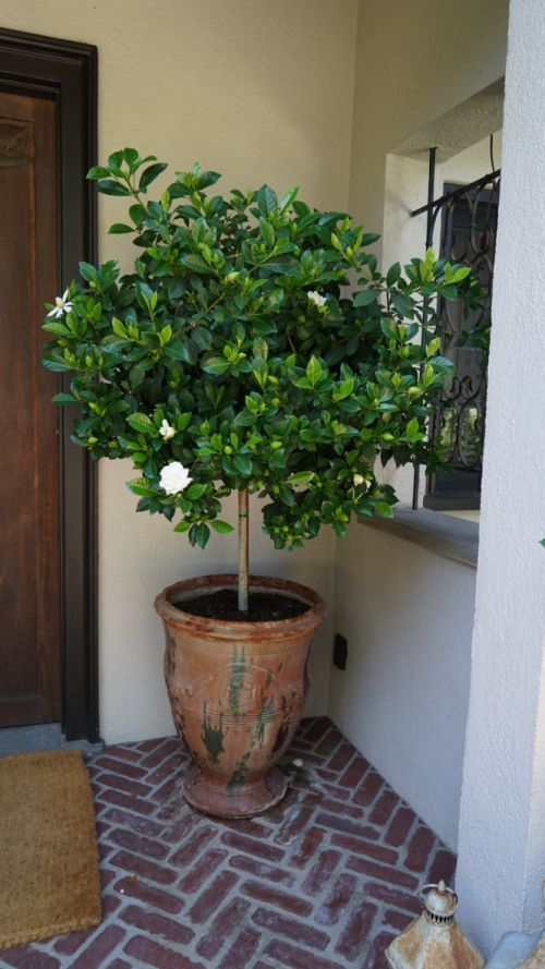 Potted gardenia tree garden pinterest gardenias for Olive trees in pots winter care