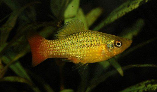 The Best And Worst Beginner Fish For Your Aquarium Aquarium Fish Fish Platy Fish