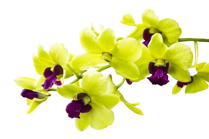 Orchid Flower Color Meaningswhile All Amp Nbsp Orchids Symbolize Love And Beautyorchids Symbolize Love And Beauty T Green Orchid Flower Meanings Orchid Flower
