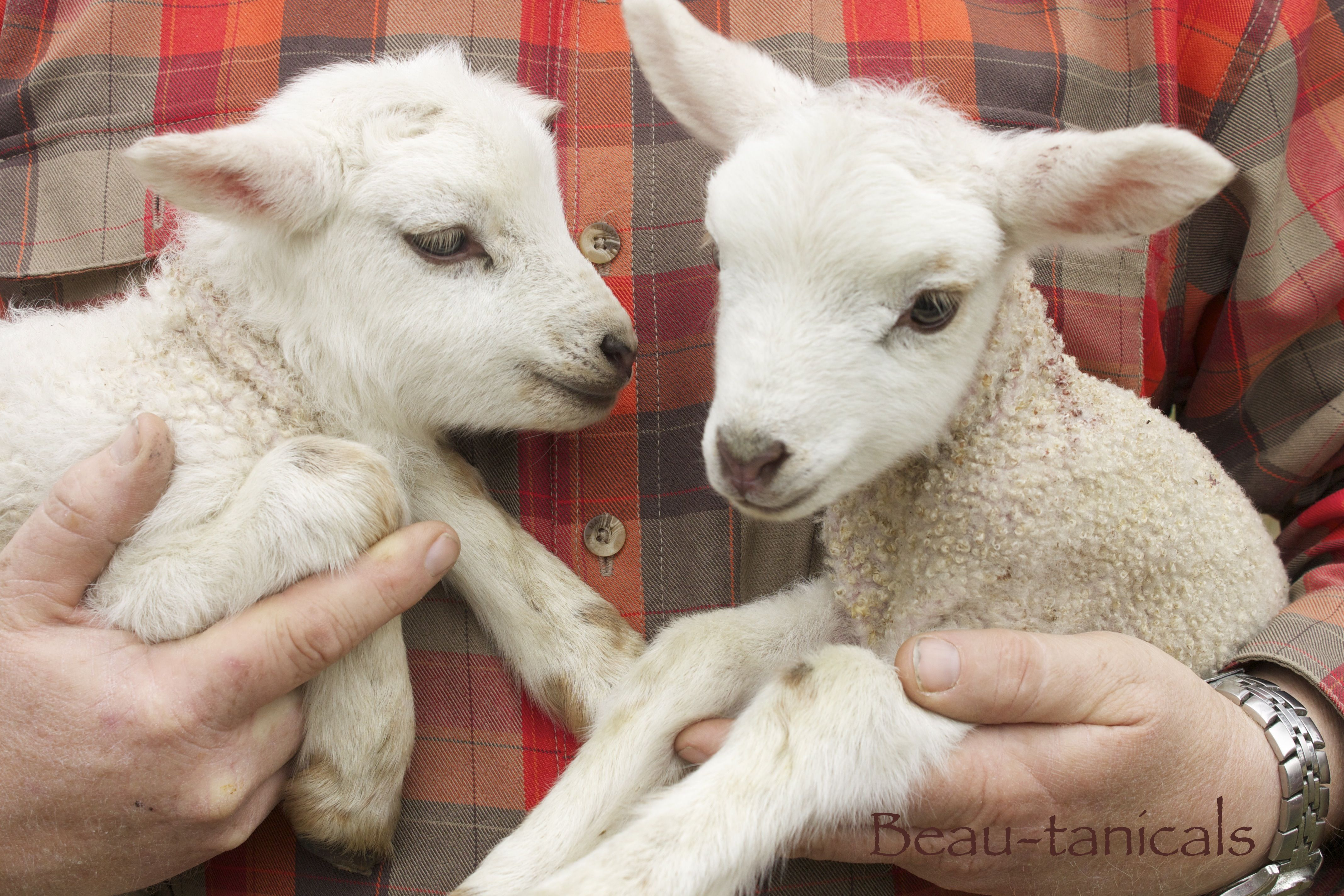 "Our adorable new twin ram lambs ""Cedar"" & ""Spruce"". Gulf Coast Native Sheep."