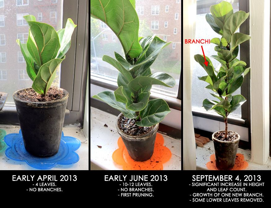 Fiddle Leaf Fig Update Fiddle Leaf Fig Plants Fiddle Leaf Fig Tree