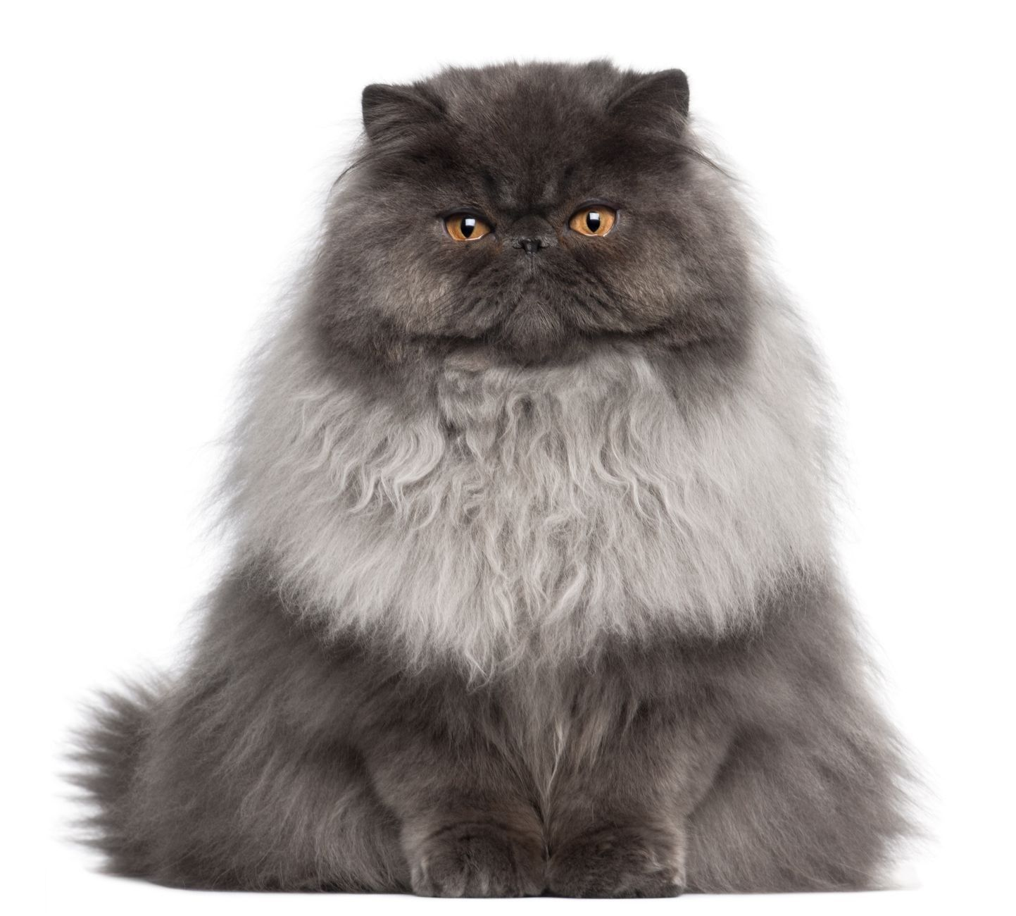 I M Really Happy Persian Cat Doll Face Persian Kittens Cats