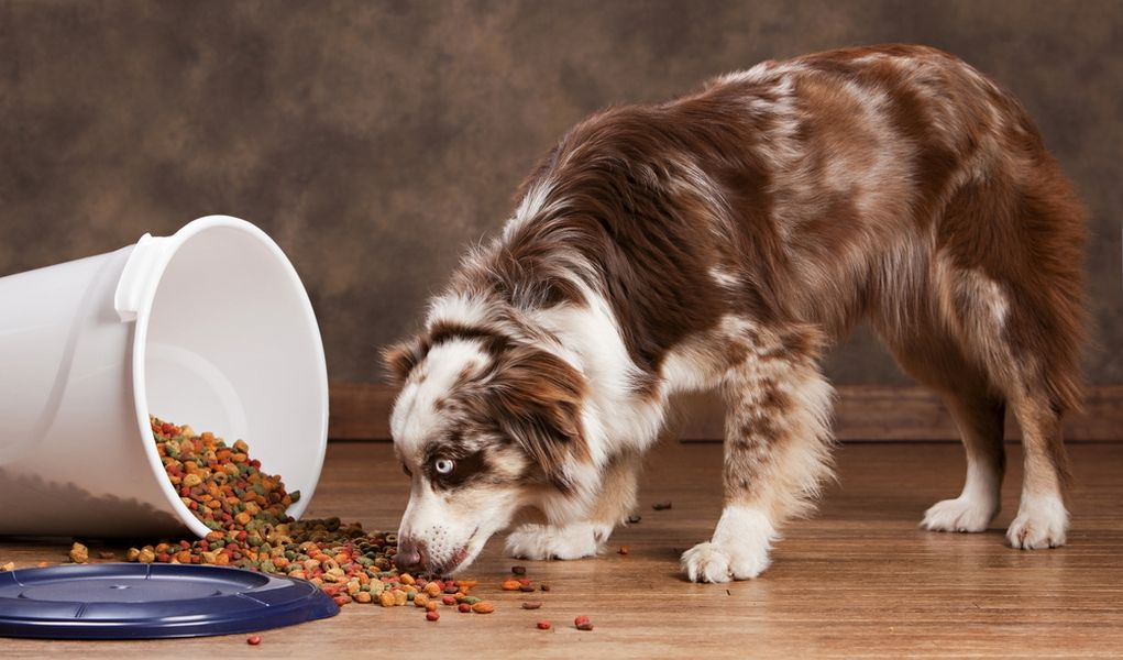 7 Best Dog Foods For Australian Shepherds With Images Best Dog Food Best Puppy Food Dog Food Recipes