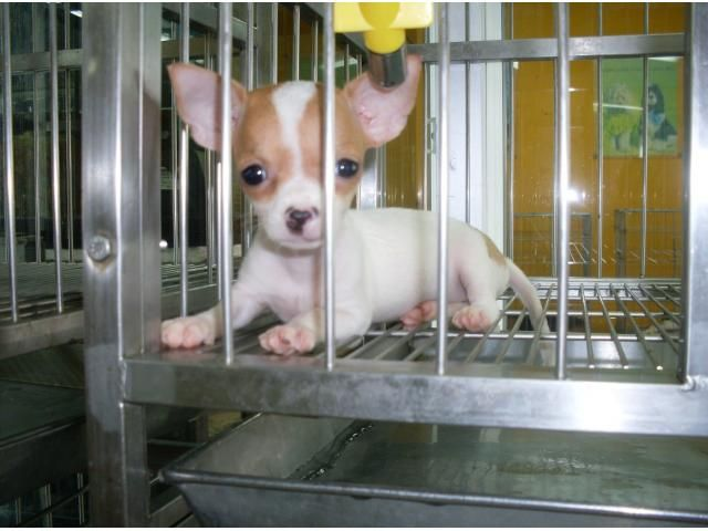 Chihuahua Puppies For Sale Clawsnpawskennel Chihuahua Puppies
