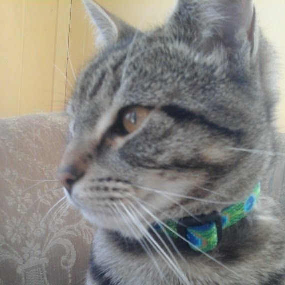 Name Olaf Date Lost Found 09 02 2015 Species Cat Breed Striped Shorthair Gender Female Age 1 Yrs Relative Size Losing A Pet Lost Cat Tabby