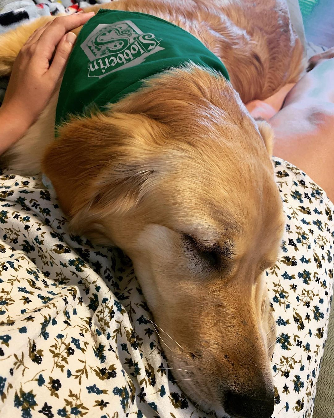 Just napping with mommy . . . goldenretriever