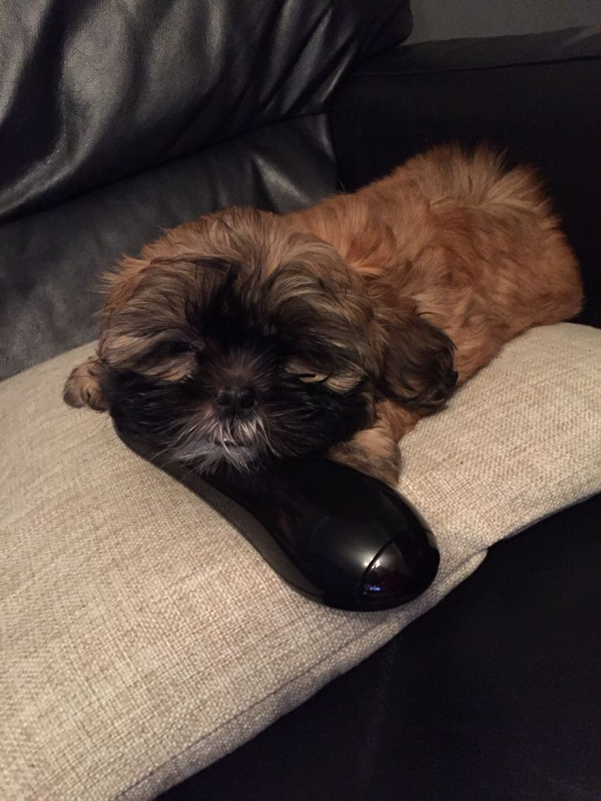 Boo The Shih Tzu Puppy Gold With Black Mask Our New Baby D O G S