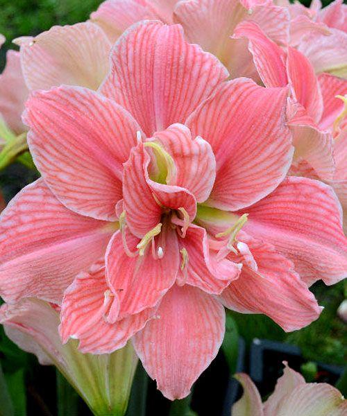 Amaryllis double 39 sweet nymph 39 amazing world pinterest for Amaryllis sweet pink