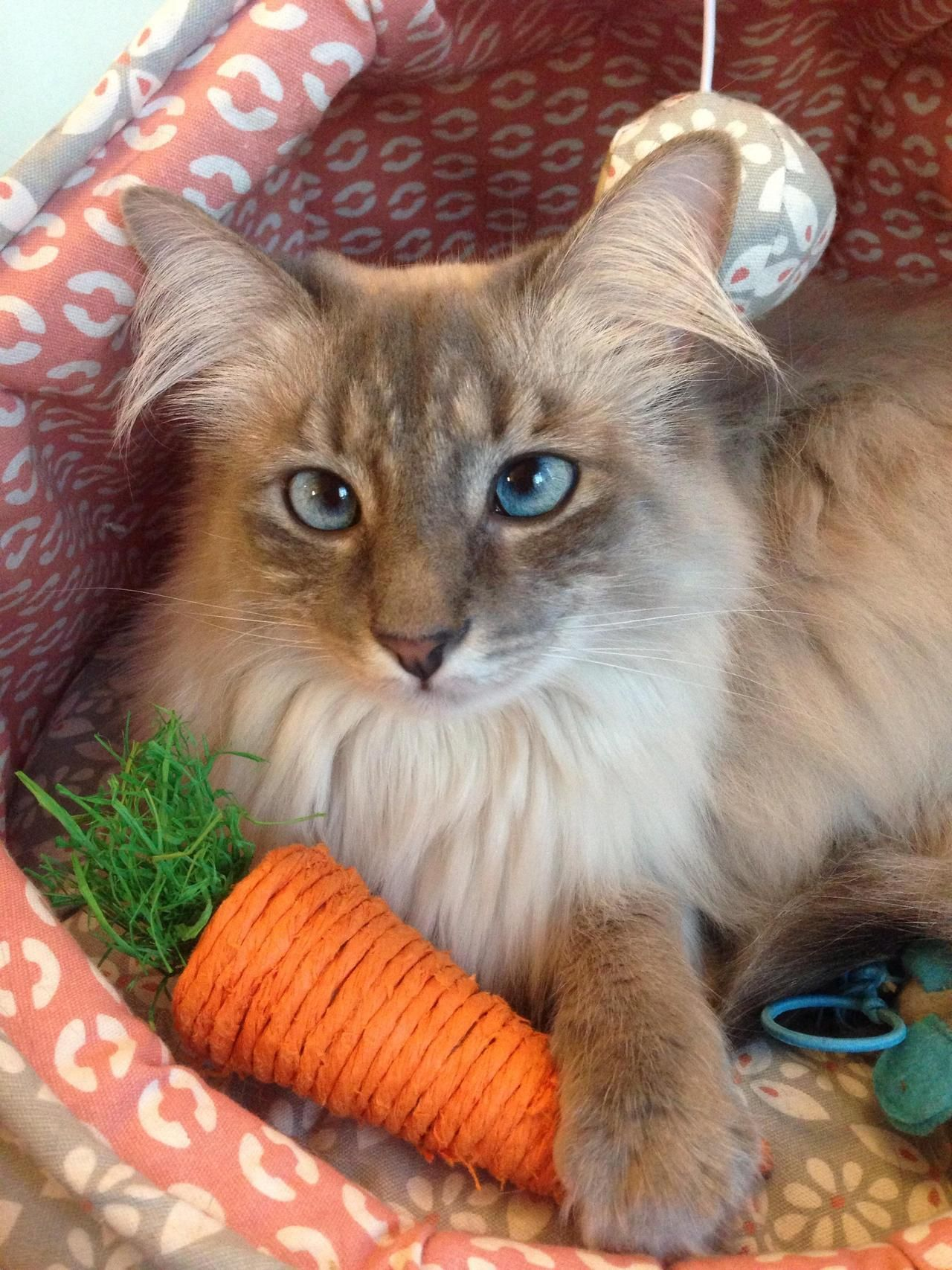 Do you need a kitten carrot Do cats eat fruits and vegetables And what else do they eat