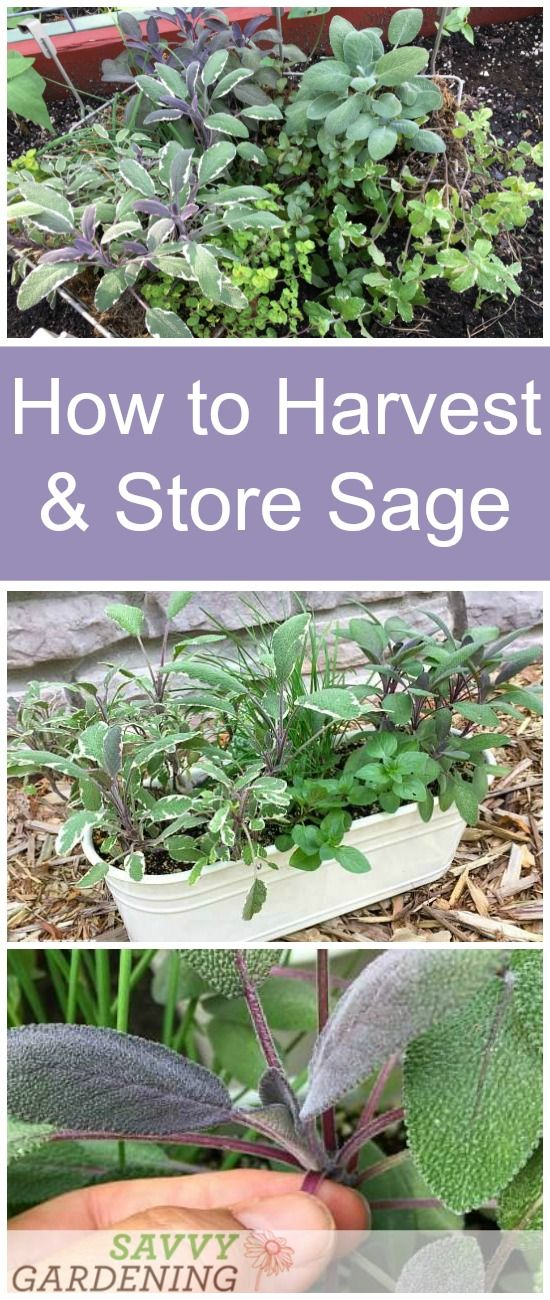 Growing A Culinary Herb Garden Sage Plant How To Dry Sage