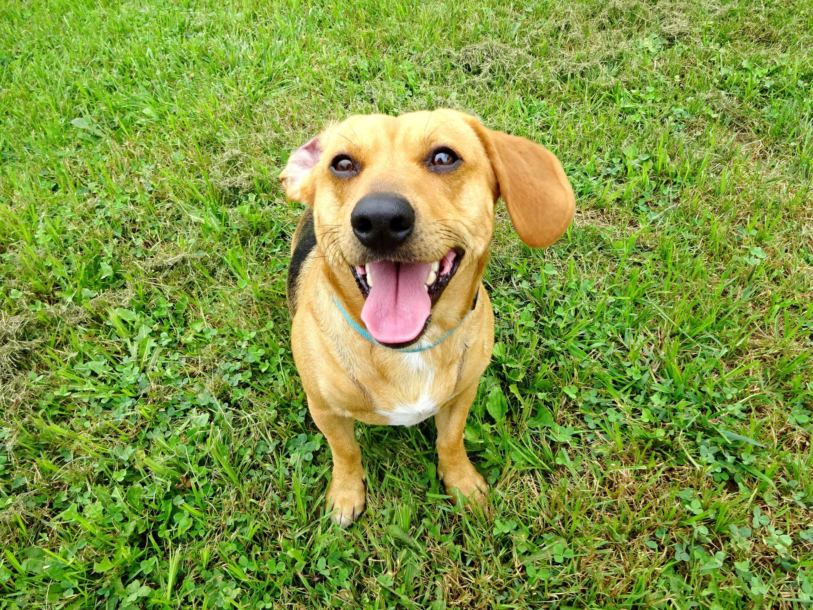 Doxle Dog For Adoption In Belleville Mi Adn 424007 On